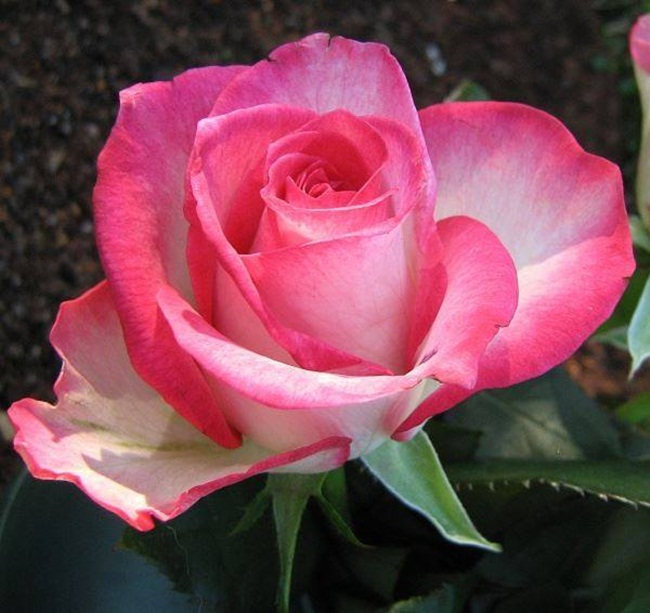 rosa-de-vida-1