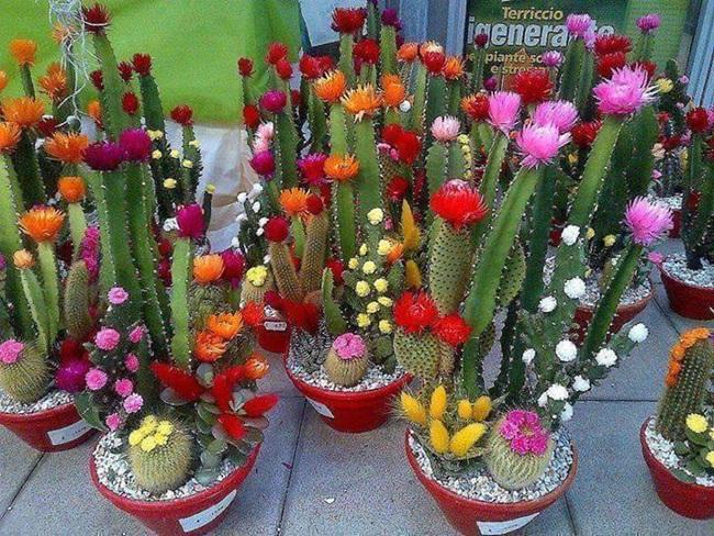cactus-hermoso-3