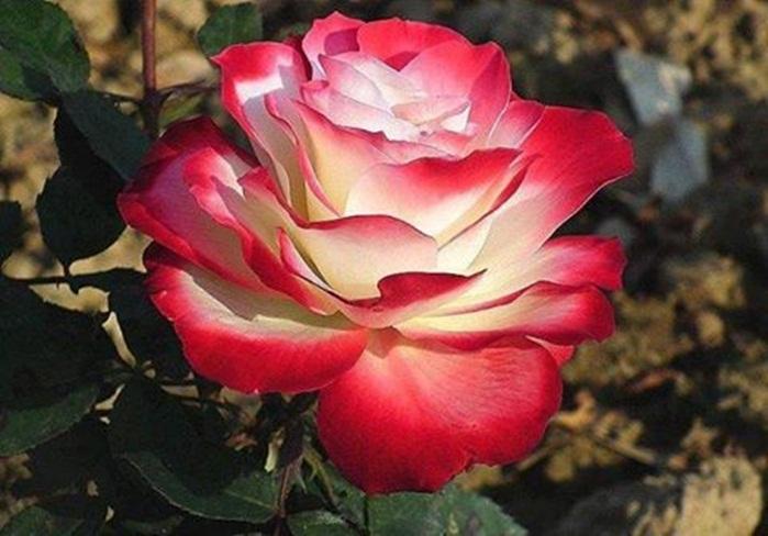 rosa-de-colores-1