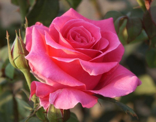 rosa-del-amor-copia