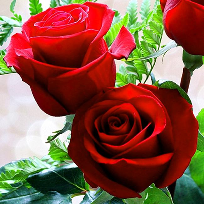 rosa-hermosa-5