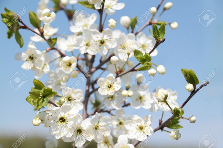 Branch with beautiful white cherry flowers, buds and green leaves