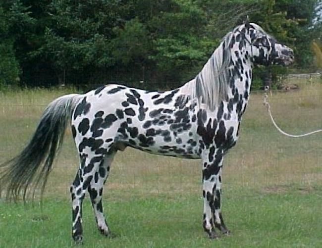 caballo-pintado
