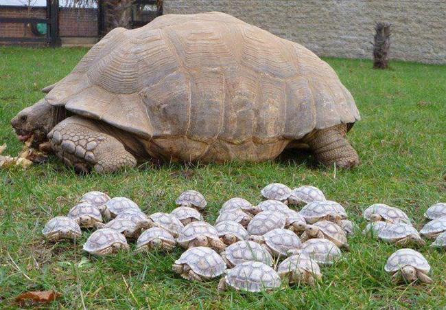 tortu-gigante
